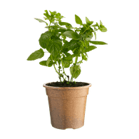 Organic Mint Potted