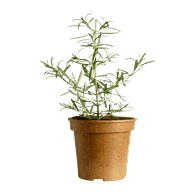 Organic Rosemary Potted