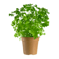 Organic Italian Parsley Potted