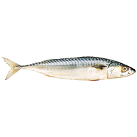 Fresh Atlantic Mackerel