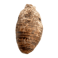 Taro Root, Medium